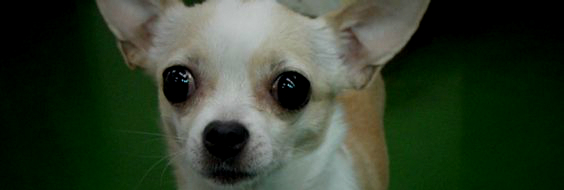 春日部 ペットショップ 猫 犬 トイプードル チワワ マンチカン スコティッシュフォールド
